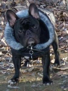 Francia bulldog | Doglike kutyaruha